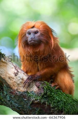 cute golden lion tamarin (Leontopithecus rosalia) - stock photo