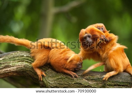 cute golden lion tamarins with baby (Leontopithecus rosalia) - stock photo