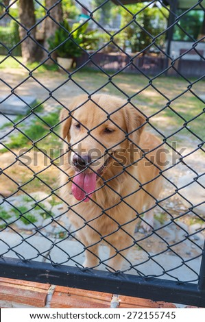 cute golden retriever confine in cage of garden - stock photo