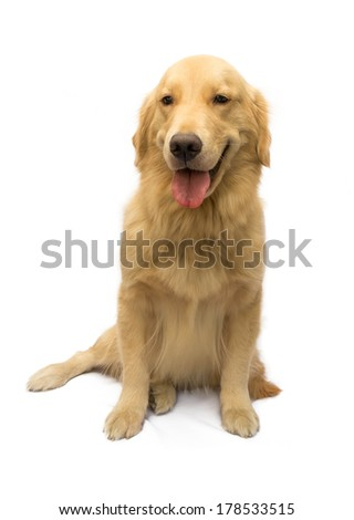 cute golden retriever in a happy mood isolated in white background with clipping path