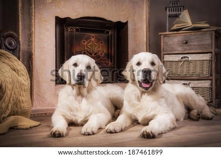 cute golden retriever puppy - stock photo