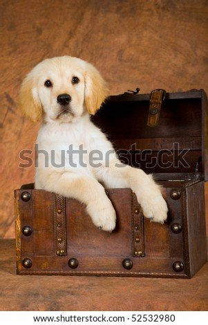 Cute Golden Retriever puppy in wooden treasure chest on brown background