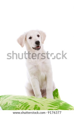 Cute Golden Retriever puppy looking happy on white