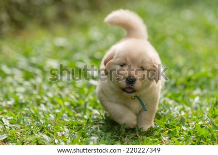cute golden retriever puppy running - stock photo