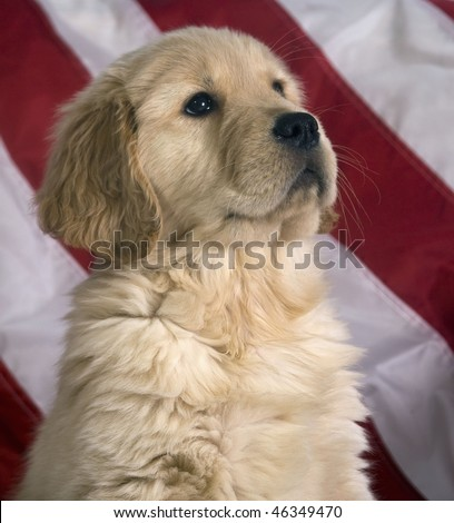 Cute Golden Retriever puppy sits proudly in front of an American flag. - stock photo