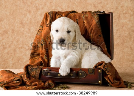 Cute Golden Retriever puppy sitting in suitcase, on brown fabric background