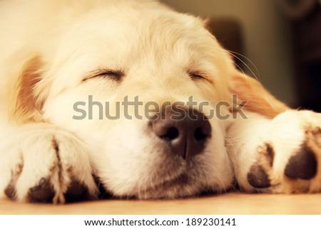 Cute golden retriever puppy taking a nap. - stock photo