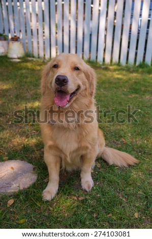 cute golden retriever sitting in the garden - stock photo