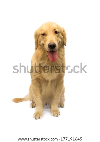 cute golden retriever with a smile on face isolated in white background with clipping path