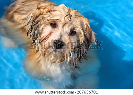 Cute golden sable havanese puppy dog is bathing in a shining blue water pool - stock photo