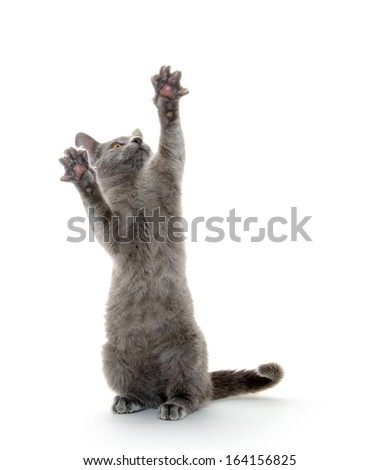 Cute gray American shorthair kitten playing on white background
