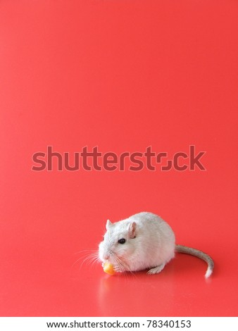 Cute Gray and White Gerbil Nibbles on Cheese- red background with copy space - stock photo
