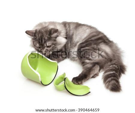 Cute gray cat feeling guilty after breaking a mug  - stock photo