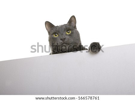 Cute gray cat with placard or banner for your text, isolated (sign) - stock photo