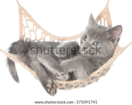 Cute gray kitten lay in hammock on a white background.