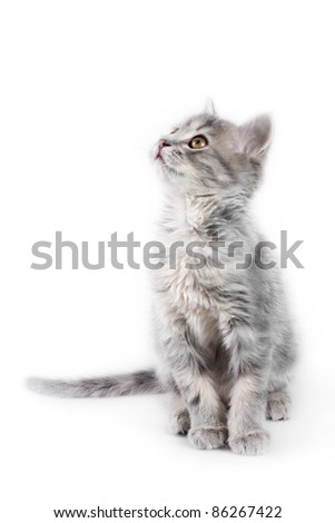 Cute gray kitten looking up on the white background