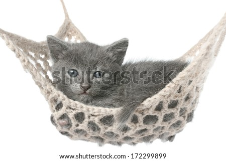 Cute gray kitten lying in hammock on a white background. - stock photo