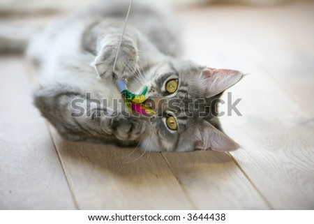 Cute gray kitten lying on a wooden floor playing with it's toy - stock photo
