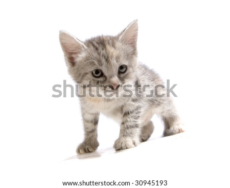 Cute gray kitten on white ground