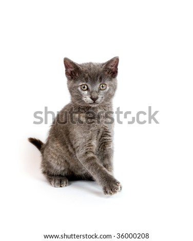 Cute gray kitten playing on white background