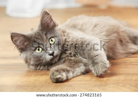 Cute gray kitten plays on floor at home  - stock photo