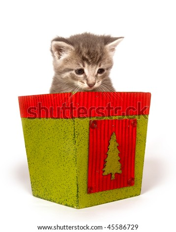 Cute gray kitten sitting inside of green and red Christmas flower pot - stock photo