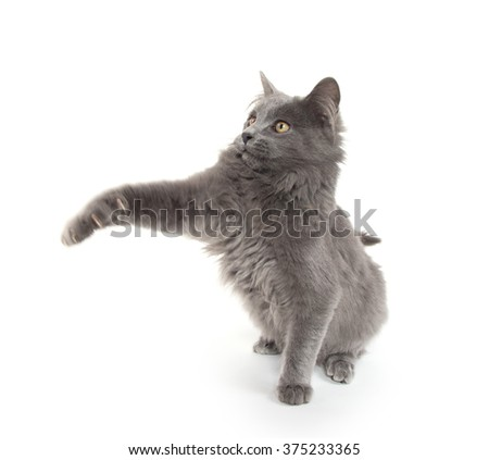 Cute gray kitten swinging its paws and playing isolated on white background