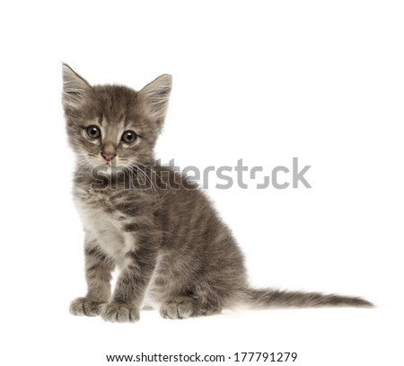 Cute gray kitten Thai cat isolated on white background