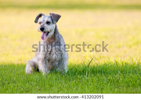 Cute gray schnauzer dog looking sideways in green grass and yellow sunshine in background. - stock photo