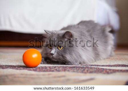 Cute gray siberian cat attacking orange small ball. - stock photo