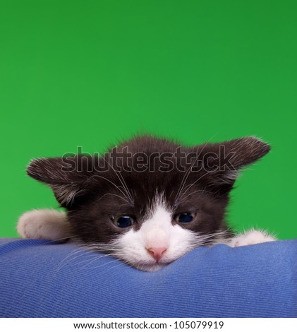 Cute Gremlin Cat Isolated on Green Chroma Key Background - stock photo