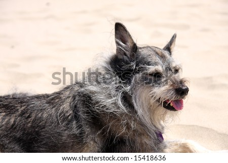 Cute grey and white dog resting on the beach - stock photo