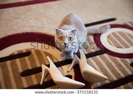 Cute grey british short hair cat posing near white wedding shoes - stock photo