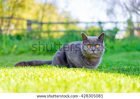 Cute grey cat on green grass. Summer sunny day. - stock photo