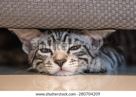 cute grey kitten American Short Hair Cat sleep under sofa - stock photo