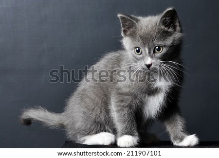 Cute grey kitten on a isolated black background - stock photo