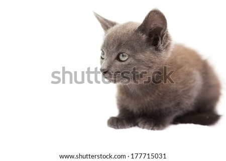 Cute grey kitten sitting on white background