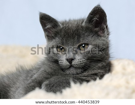 cute grey kitty - stock photo