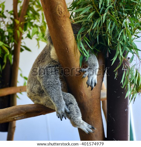 Cute grey koala bear hugging the tree with its paw and sleeping on a tree in a zoo - stock photo