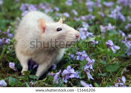 Cute grey rat in violet flowers