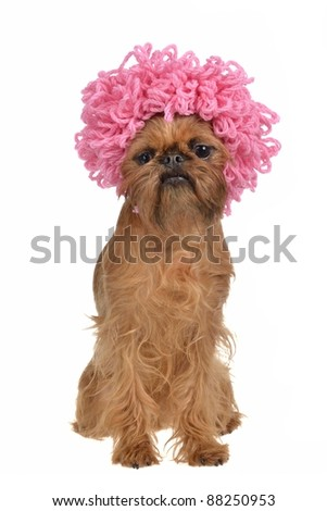 Cute griffon dog with pink curly wig, isolated on white background - stock photo