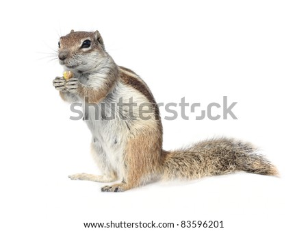 cute ground squirrel nibbling a nut - stock photo
