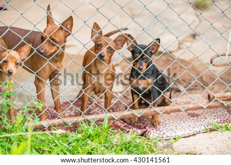 cute group of chihuahuas in a cage and gaze to camera. chihuahuas is the smallest breed of dog and is named for the state of Chihuahua in Mexico. Chihuahuas come in a wide variety of sizes.  - stock photo