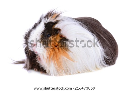 Cute guinea pig sitting on a white background - stock photo