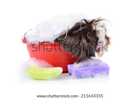 Cute guinea pig taking a bath in a soap foam on a white background - stock photo