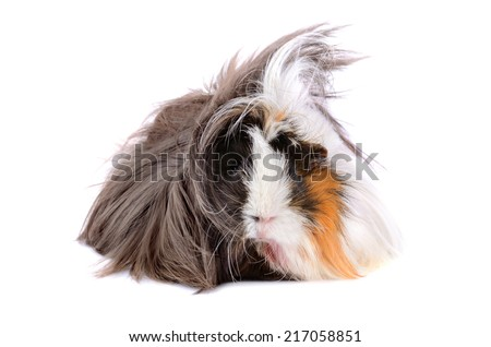 Cute guinea pig with long hair on a white background - stock photo