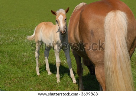 cute haflinger filly and mother in green meadow - stock photo