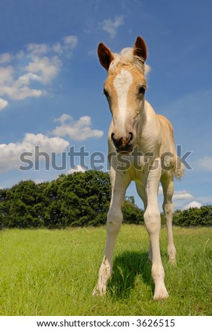 cute haflinger filly in a fresh green meadow and with blue sky background - stock photo