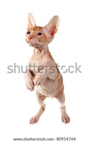 cute hairless oriental kitten isolated on white - stock photo