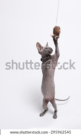 cute hairless sphinx cat isolated on white studio